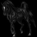 Cheval de selle Shagya Noir