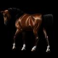 Riding Horse Morgan Cherry bay